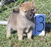 extraordinary Shiba Inu Puppies
